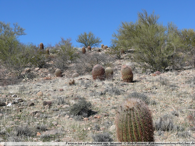 Cacti collection-Holzheu - Ferocactus cylindraceus ssp. lecontei