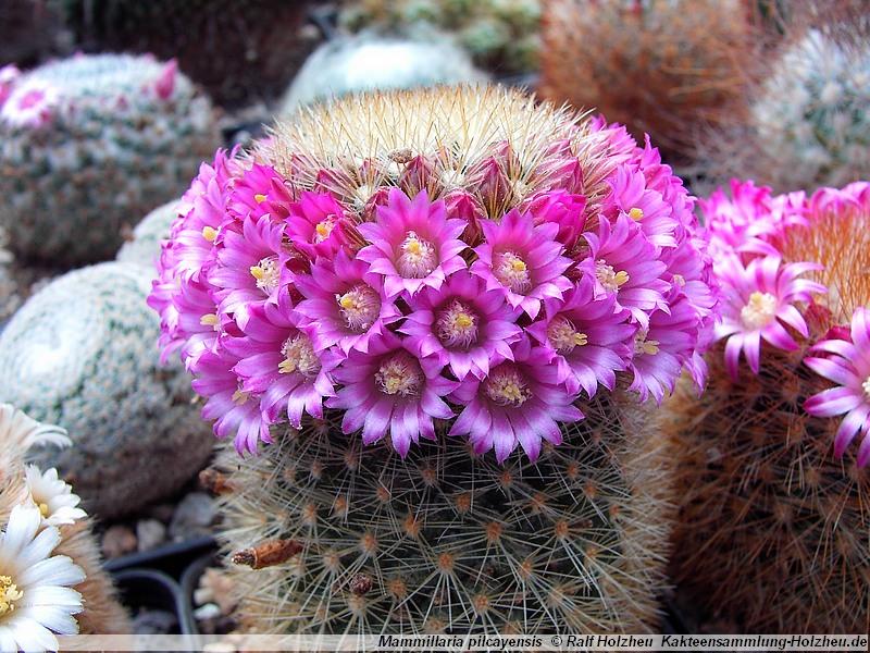 Photo: Mammillaria pilcayensis 'chrysodactyla' | Mammillaria album ...